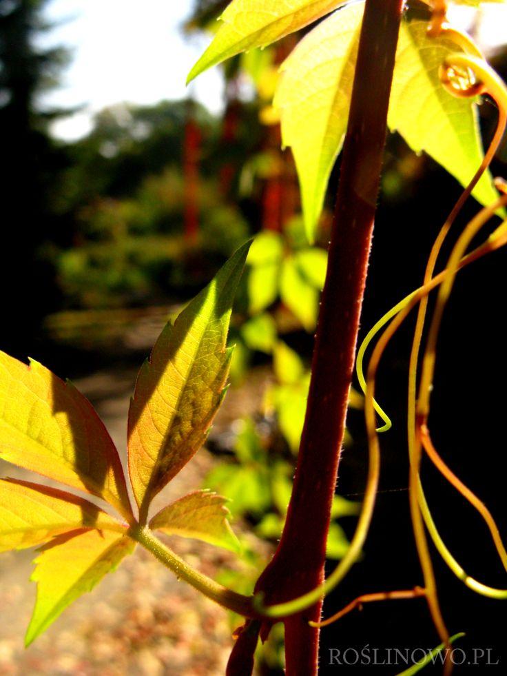 Winobluszcz pięciolistkowy (Parthenocissus quinquefolia) 2