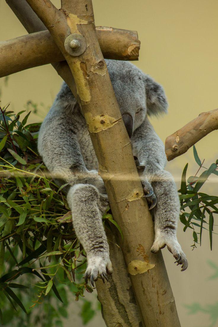 Koala. Koala.