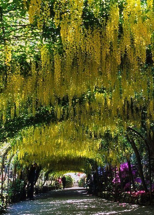 The famous laburnum arch at Bodnant Garden in Conwy, Wales (by ukgardenphotos)