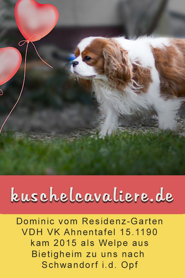 Dominic Vom Residenz Garten Ahnentafel Cavalier King Charles Spaniel King Charles Spaniel