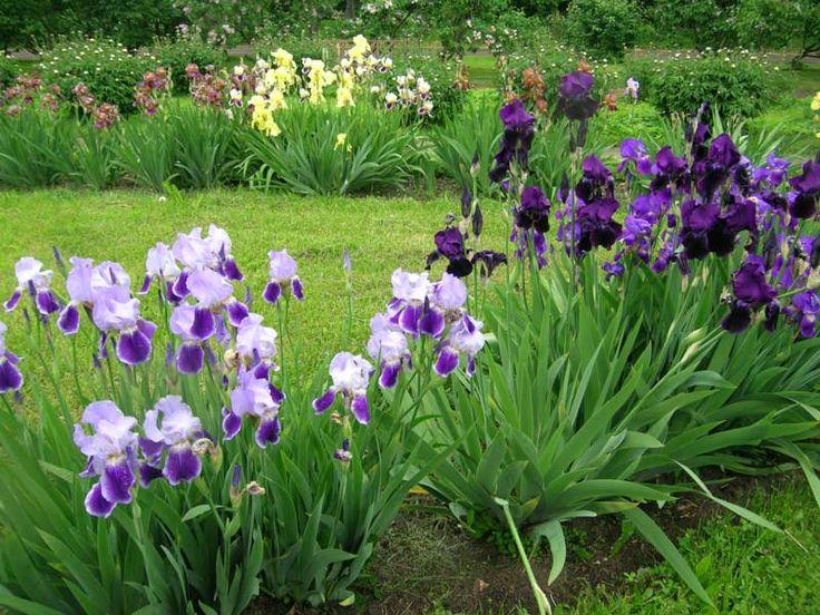 Ирисы: выращивание, уход и размножение