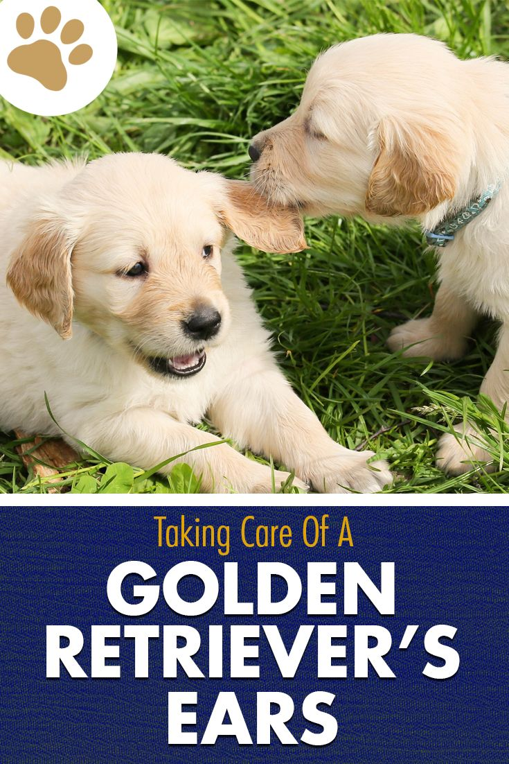 Learn How To Properly Care For Your Golden Retriever S Ears