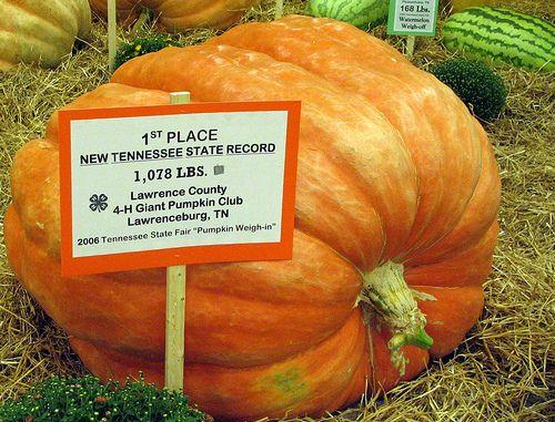grow a pumpkin - Growing Halloween Pumpkins