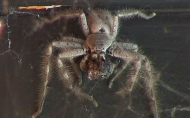 "An Australian businessman has admitted that he is a ""bit silly"" for   living in a shop window for three weeks with hundreds of poisonous spiders."