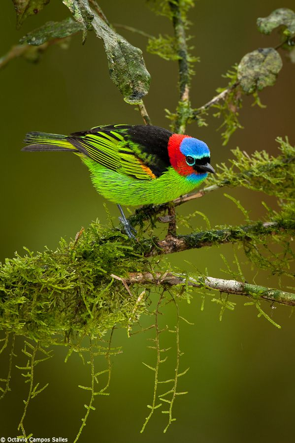 Red-necked Tanager (Tangara cyanocephala) by Octavio Campos Salles, via 500px
