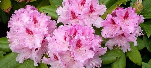 Rododendro alpino