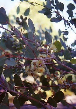 Eucalyptus pyriformis 2-6m,