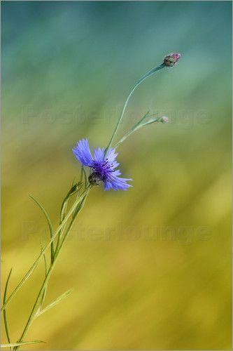 Poster Kornblume,  Centaurea cyanus