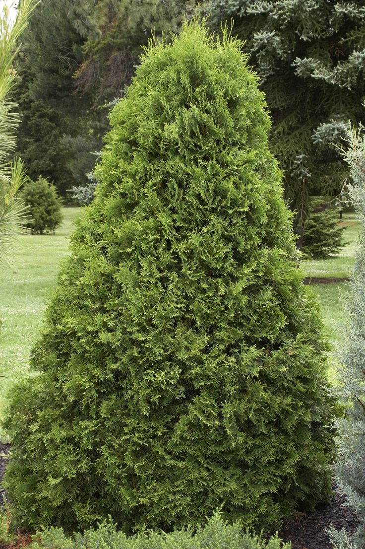 emerald arborvitae monrovia thuja occidentalis 39 emerald 39 usda hardiness zone 4 8 full sun. Black Bedroom Furniture Sets. Home Design Ideas