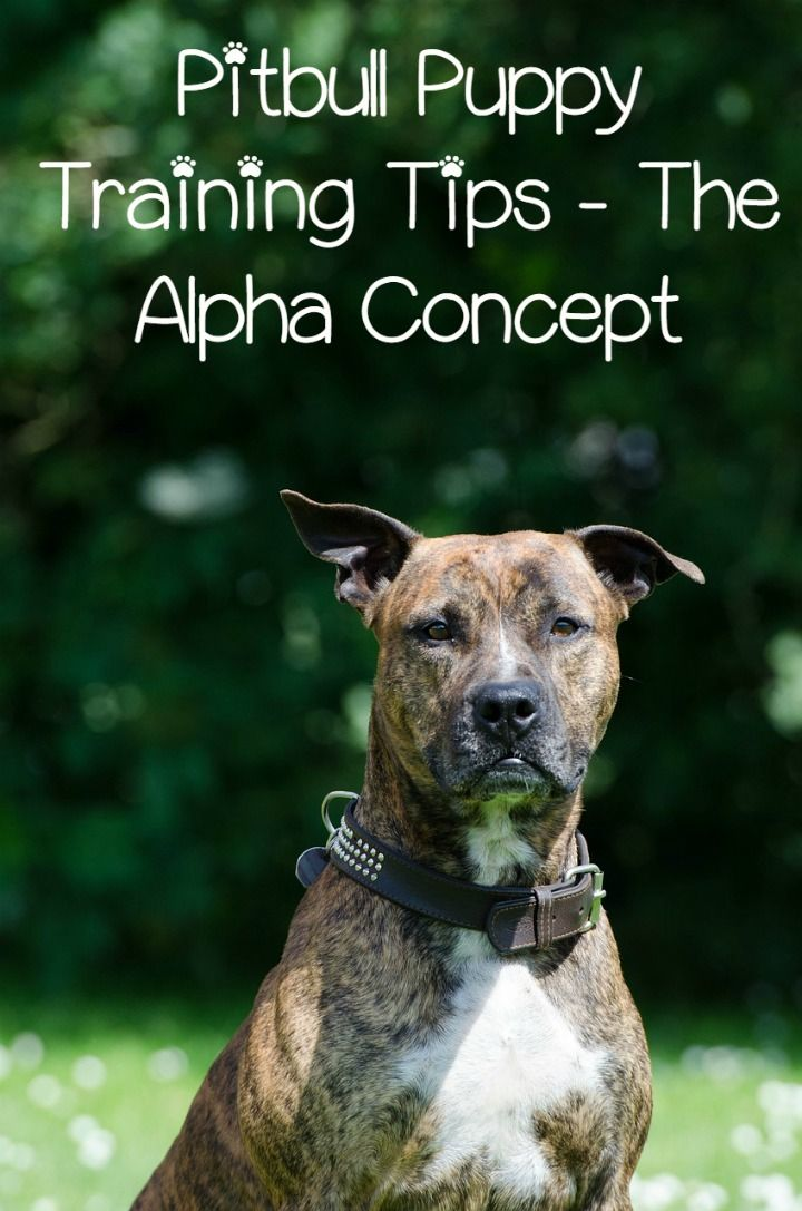 In this edition of Pitbull Puppy Training Tips, we'll talk about the Alpha concept. Pitbull Puppy Training Tips will discuss this as it relates to training.