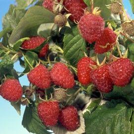 Résultats Google Recherche dimages correspondant à http://photos.plantes-et-jardins.com/270x270/framboisier-zeva1.jpg