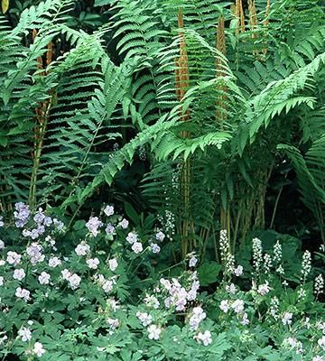 Cinnamon fern and perennial geranium. This understated pairing of low and tall shade plants is a natural in a woodland garden. Petite geranium flowers fill the often scraggly looking base of mature ferns with delicate points of pale color (pink, purple, blue or cream). The feathery fronds of ferns typically reach 2-5 feet