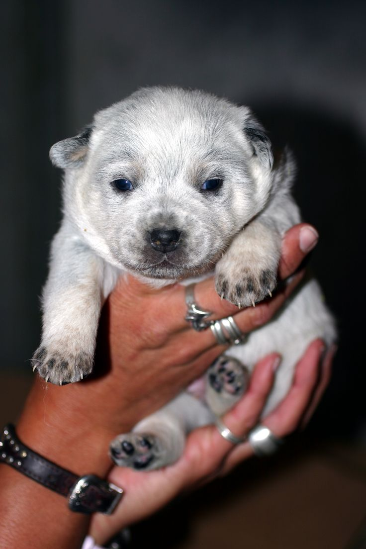 Blue Heelers For Sale
