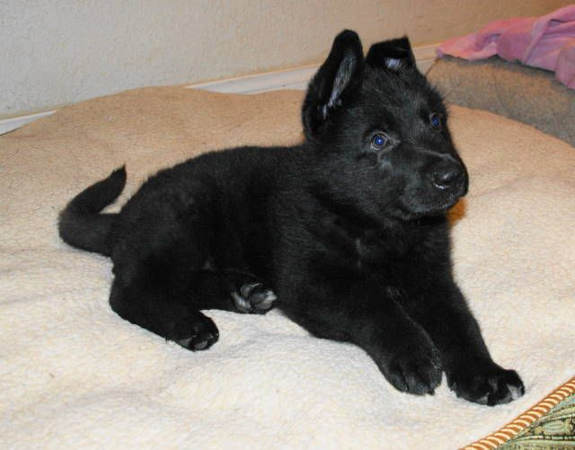 Amazing and Beautiful black gsd Puppies for sales ! whatsapp !! 08510948481