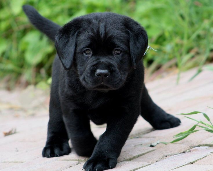 Black labrador puppy...cutie!