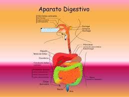 Resultado de imagen para sistema digestivo humano