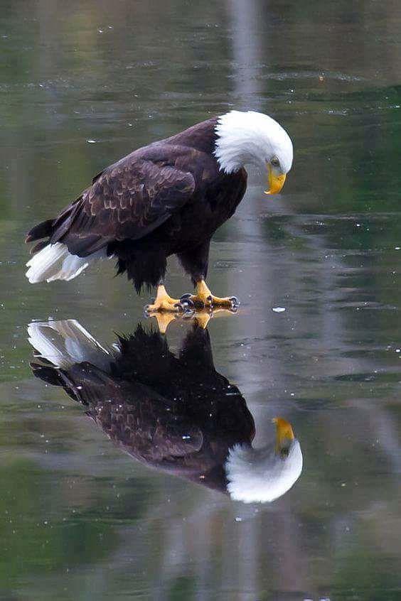 PsBattle: Bald Eagle over ice : photoshopbattles