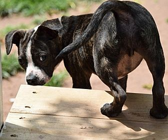 Image For Adoption Austin The Boston Terrier Needs A Home