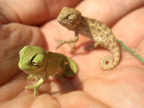 The teensiest, cutest little chameleons ever.  These can't be real!