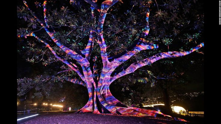 """A tree is lit up during the """"Garden of Light"""" display at the Royal Botanic Garden as part of Vivid Sydney 2016. The 23-day festival of """"light, music and ideas"""" finishes on June 18."""