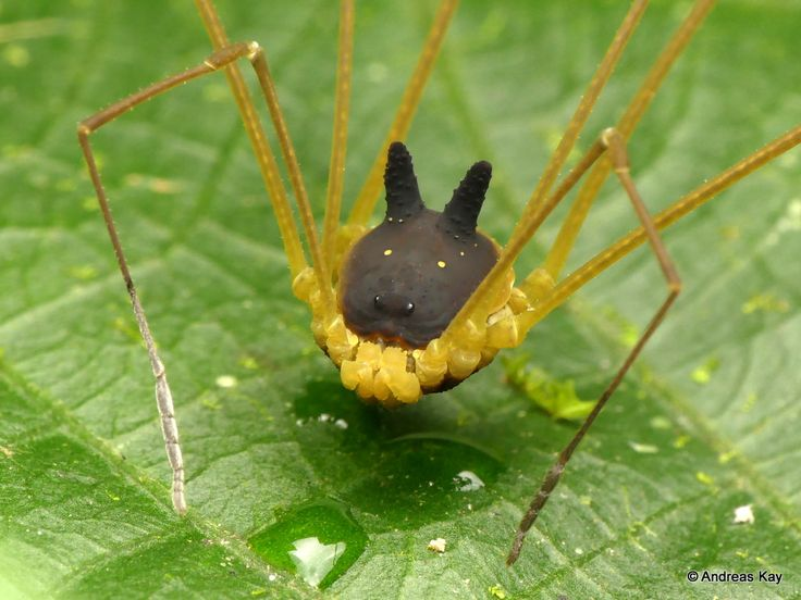 https://flic.kr/p/WgioBh | Bunny Harvestman, Metagryne bicolumnata, Opiliones | ID by Miguel Angel Medrano from Ecuador: www.flickr.com/andreaskay/albums