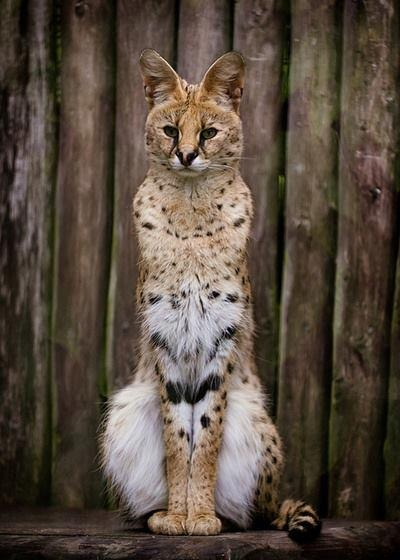 "The Serval (Leptailurus serval) known in Afrikaans as Tierboskat, ""tiger-forest-cat"", is a medium-sized African wild cat. DNA studies have shown that the serval is closely related to the African golden cat and the caracal."