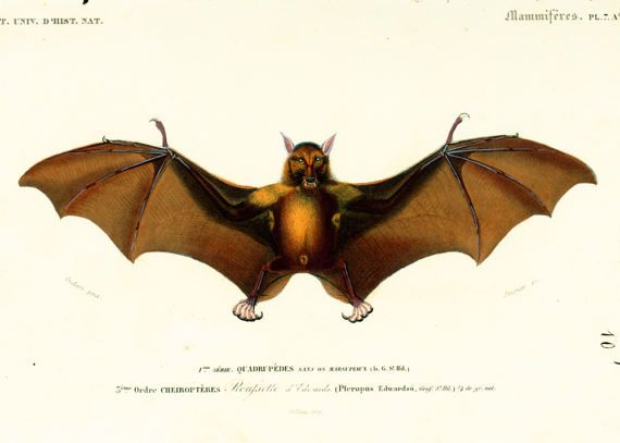 AUTHENTIC 1800s COLORED LITHOGRAPH  This print is taken from the Dictionnaire Universel d'Histoire Naturelle, a publication directed by the french naturalist Charles Henry ... #long-eared #halloween #vampire #dracula