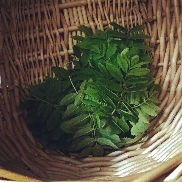 Pihlajanlehtivauvoista saa ihanaa teetä, jossa on karvasmantelin makua. You can make delicious tee of baby rowan leaves. #yrttitee #pihlaja #rowanleaves #sorbusaucuparia