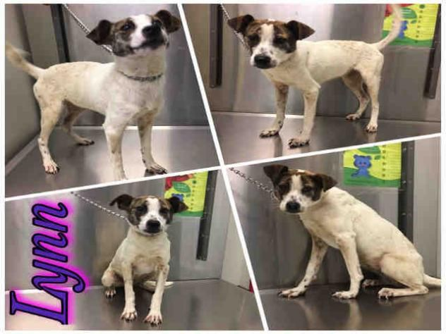 LYNN • Jack Russell Terrier (Parson Russell Terrier) & Mixed Breed Mix • Young • Female • Small Macon Bibb County Animal Welfare Macon, GA !! !! !!