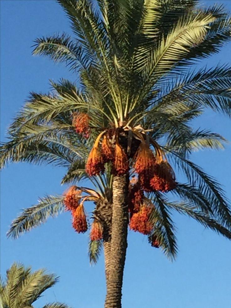 1000 Ideas About Date Palms On Pinterest Barrow Palms
