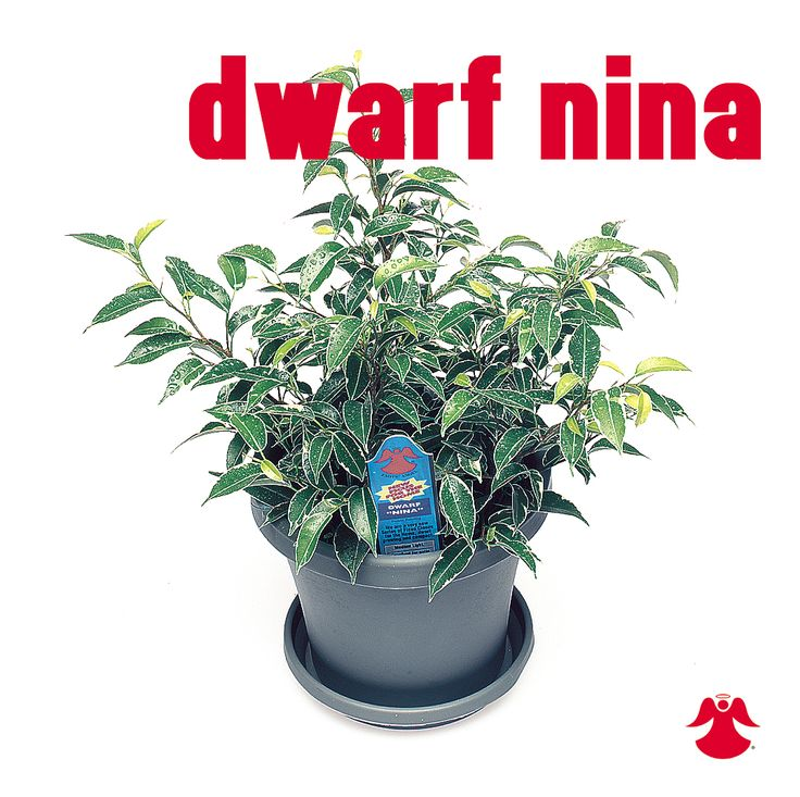 Ficus Dwarf Nina. Ficus Benjamina is the backbone of most house ficus varieties. In nature this graceful tropical tree of dense growth, forming aerial roots, and with branches of somewhat pendant habit originates from India, Southeast Asia and Australia.