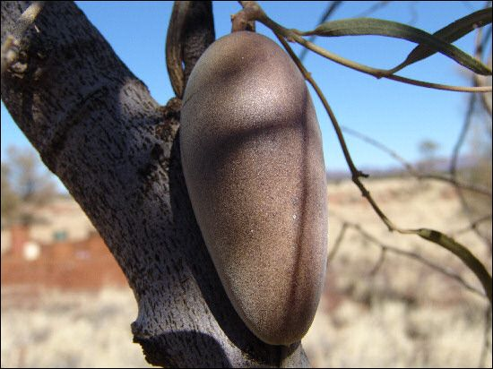 Bush Banana (Marsdenia australis)... Australian bush tucker... http://ausemade.com.au/nt/destination/c/central-australia/flora-fauna/flora/bush-food/index.htm