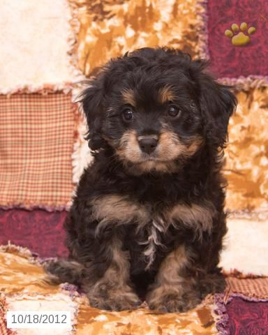 James - Cavapoo Puppy
