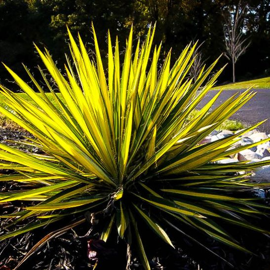 Color Guard Yucca   Yucca filamentosa 'Color Guard' | The Tree Center™