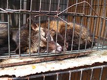 Asian palm civet - Wikipedia - housed in a cage for the production of Kopi Luwak coffee.