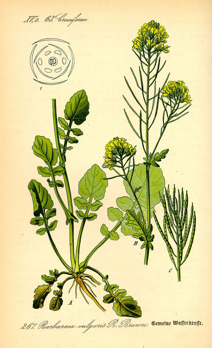Winterkresse – Wikipedia