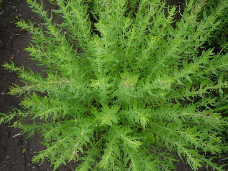 Az ajakosok (Lamiaceae) családjába tartozó izsóp nemzetségbe (Hyssopus) 10-12 illóolaj tartalmú aromás gyógynövény tartozik, amelyek a mediterráneumból és Közép-Ázsiából származnak. Magas illóolaj tartalma (0,3-1,0%) miatt mindegyikük közül kiemelkedő jelentőségű a nyár végéig virágzó izsóp (H. officinalis). http://kertlap.hu/izsop/