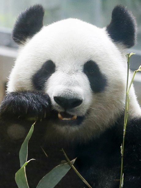 Giant Panda: What am I - Some say bear or raccoon - I am me.