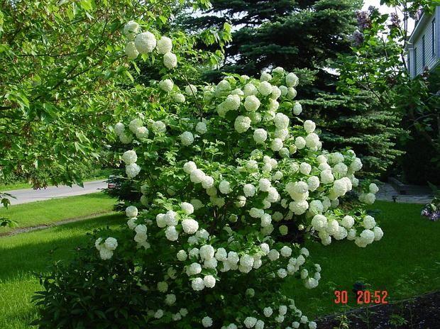 Kaliny obsypane białymi kulkami kwiatów witają wiosnę razem z bzami i wczesnymi hortensjami.