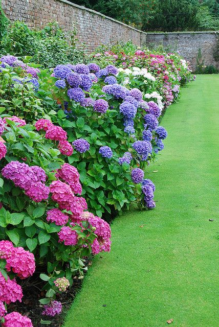 Hydrangea Border at the Powerscourt Gardens, Ireland