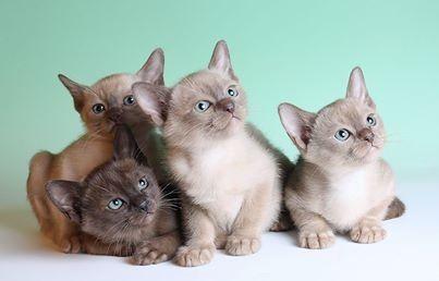 Burmese Cat Breed Profile - UK Cat Breeders