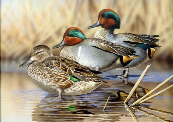 Green Wing Teal Duck Images &