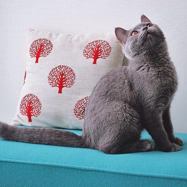 すくすくと成長中の子猫さん。 名前は「ボナ」になりました。  #刺繍と猫  #ブリティッシュショートヘア #britishshorthair #catofinstagram #cushion #standardtrade