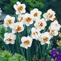 Znalezione obrazy dla zapytania Narcyz pełny Flower Drift