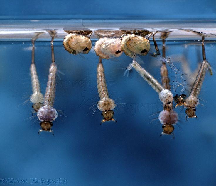 04854-Mosquito-larvae-and-pupae.jpg (1276×1104)