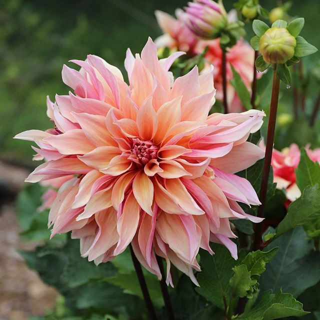 Labyrinth Dahlia isn't she absolutely gorgeous?!? Check out the other dahlias that were top performers in our trial gardens. http://blog.longfield-gardens.com/top-performing-dahlias-for-summer-2016