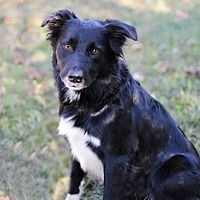 Hagerstown, Maryland - Border Collie. Meet HOUSTON, a for adoption. https://www.adoptapet.com/pet/19707702-hagerstown-maryland-border-collie