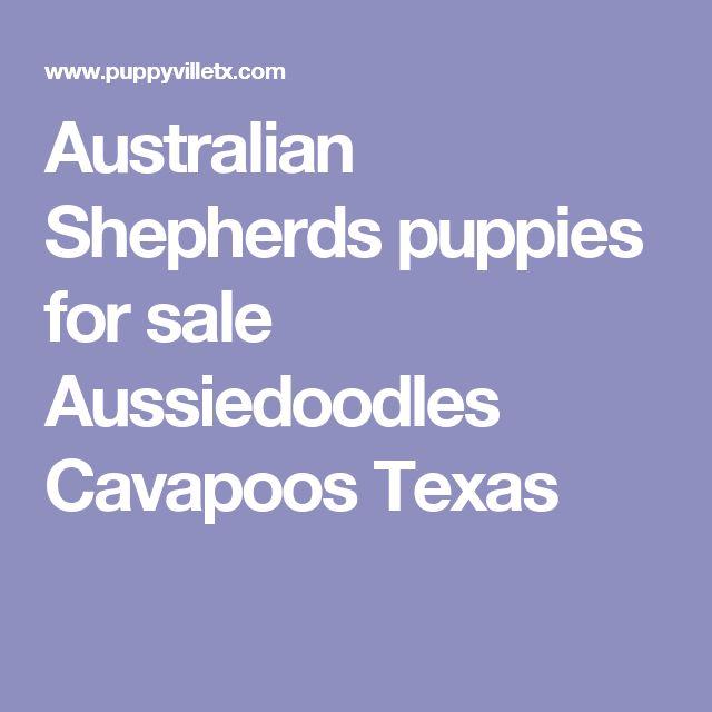 Australian Shepherds puppies for sale Aussiedoodles Cavapoos Texas