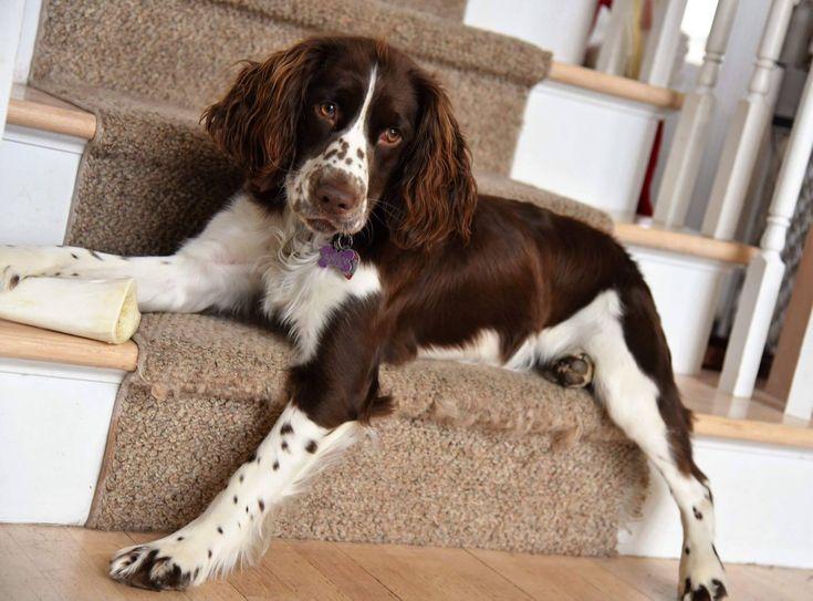 English Springer Spaniel ~ Classic Look #mediumdogbreeds