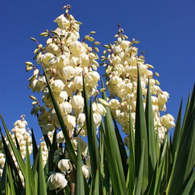 1000 Ideas About Yucca Plant On Pinterest Yucca